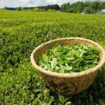 Сбор листьев зеленого чая